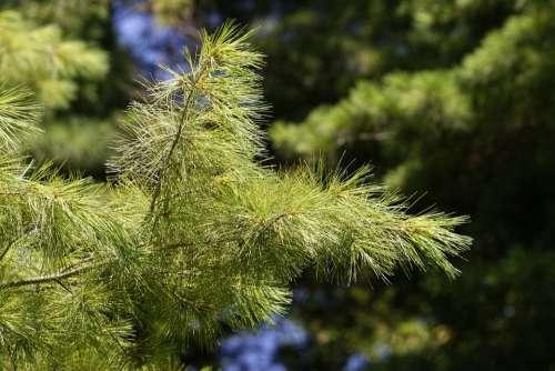 Branch Tree Pom Conifer Nature Summer Trees