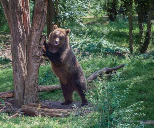 Brown Bear In A Tree Brown Bear Forest Bear Brown