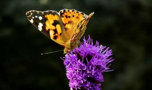 Butterfly Insect Latria Kłosowa Flower Macro Wings