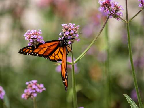 Butterfly Flower Purple Wing Garden Insect Nature