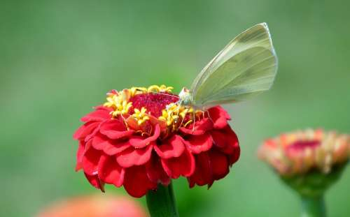 Butterfly Insect Zinnia Flower Red Nature Macro