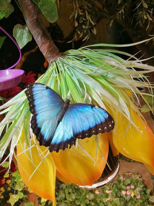 Butterfly Blue Insect Animal Wings Butterflies