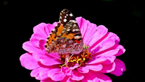 Butterfly Insect Flower Zinnia Pink Nature Wings