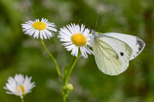 Butterfly White Ling Daisy Meadow Green White