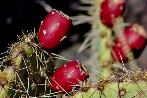 Cactus Prickly Pears Close Up Prickly Pear