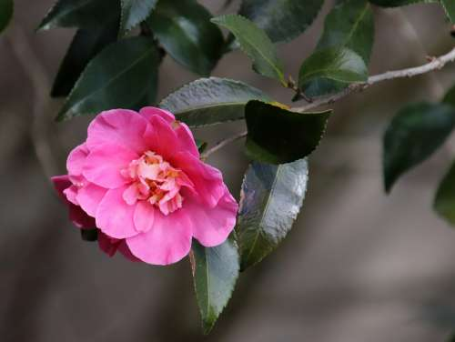 Camellia Pink Winter Bloom Stamens Garden Nature