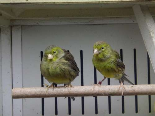 Canary Green Cage Ave Feathers
