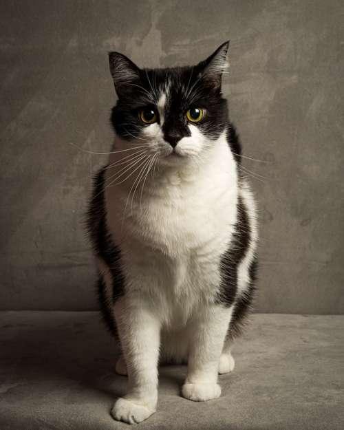 Cat Black White Pet Feline Animal