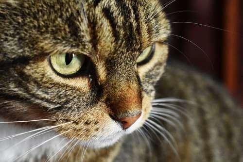 Cat Animal Pet Nature Mustache Portrait Feline