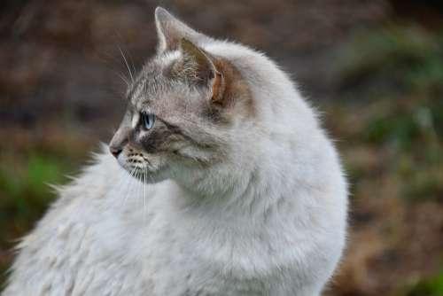 Cat Alley Cat European Cat Animal Feline