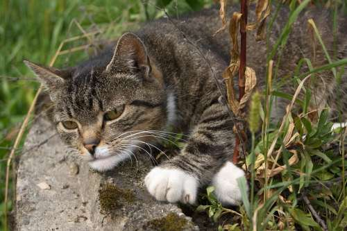 Cat Tabby Kitten Pet Animals Animal Eyes