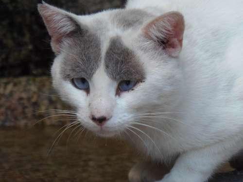Cat Eyes Pet Feline Face Mammals White Grey