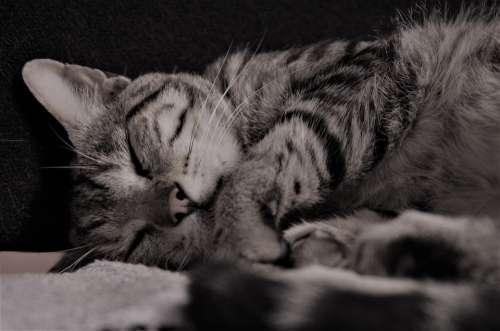 Cat Calico Cat Nap Feline Domestic Cat