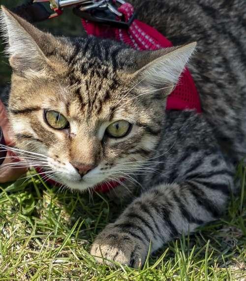 Cat Domestic Cat Kitten Pet Mammal Cute Tabby