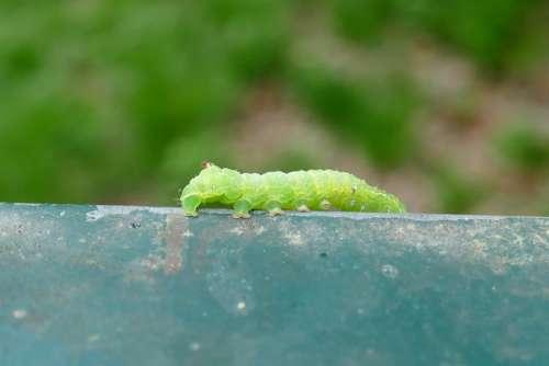 Caterpillar Crawl Close Up Insect Nature Worm