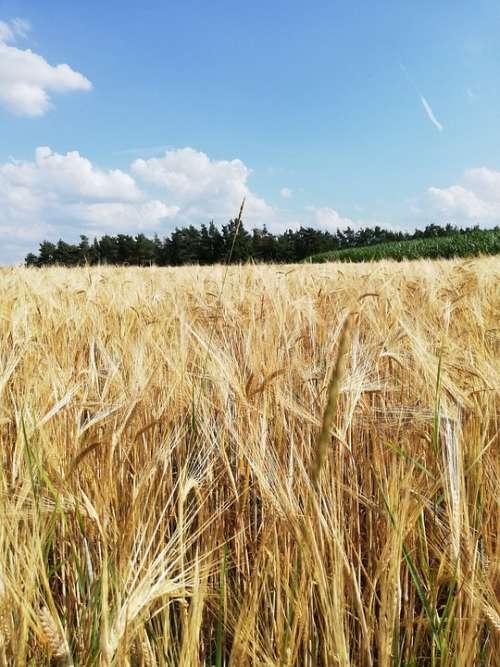 Cereals Barley Field Mature Harvest Summer Nature