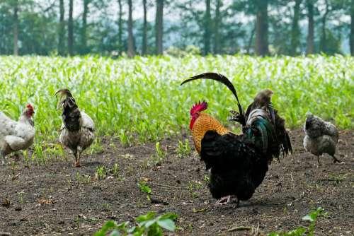 Chicken Chickens Haan Free-Range Chickens Farm