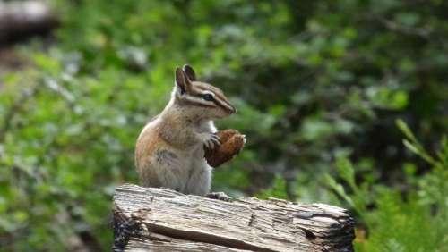 Chipmunk Forest Rodent Nut