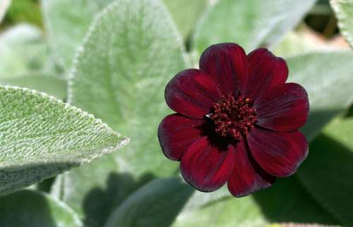 Chocolate Flower Stachys Garden Plant Blossom