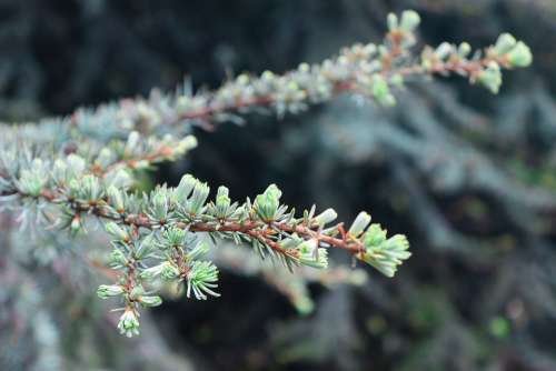 Christmas Tree Branches Larch Pine Tree Nature
