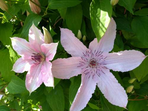 Clematis Pink Flower June Garden Creeper