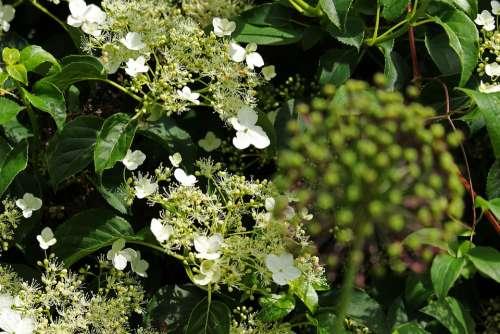 Climbing Hydrangea Leaves Spring Nature Awakening