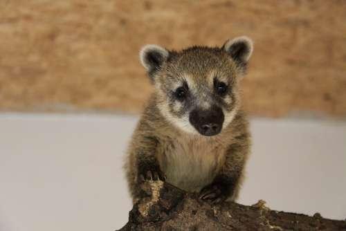 Coati Small Bear Proboscis Bear Coatis Nasua
