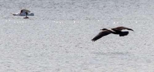 Cormorant Waterbird Cormorant Flying Lake Freedom