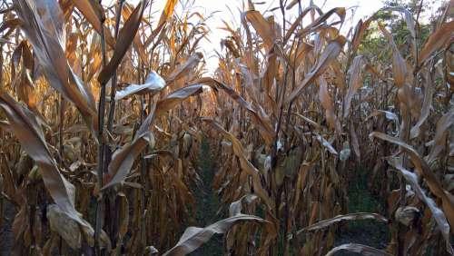 Corn Agriculture Harvest Economy Nature Crop