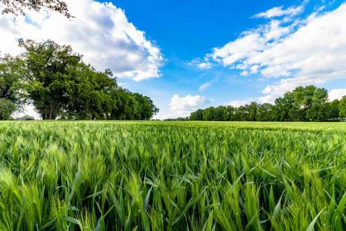 Cornfield Agricultural Cereals Nature Agriculture
