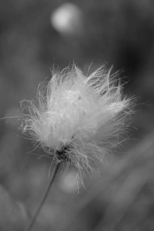 Cottongrass Nature Plant White Fluffy Woolly