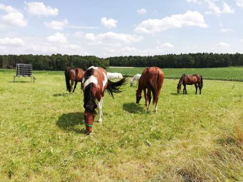 Coupling Horses Mares Field Forest Pasture Sky