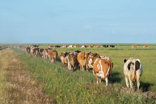 Cows Nature Agriculture Animals Summer Grass