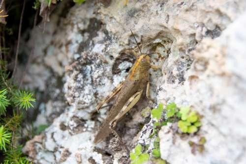 Cricket Tettigonia Viridissima Insect Feb Rock