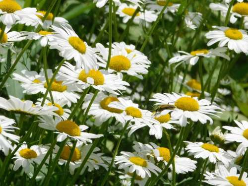 Daisy Flower White Bloom Petals Plant Wildflowers