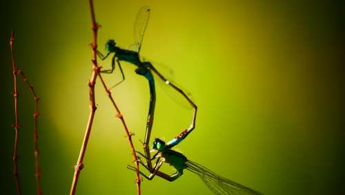 Damsel Dragonfly Nature Mate Dragonflies Bug