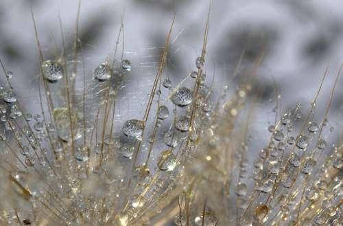 Dandelion Drops Water Macro Grass Nature