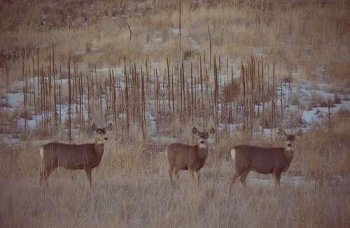 Deer Mule Deer Wildlife Nature Outdoors Buck
