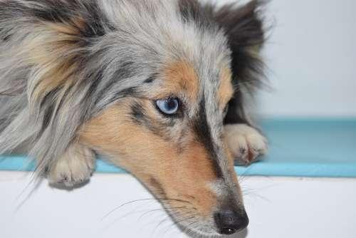 Dog Bitch Portrait Blue Eye Dog Shetland Sheepdog