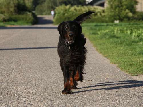 Dog Setter Gordon Animal Pet Run Race
