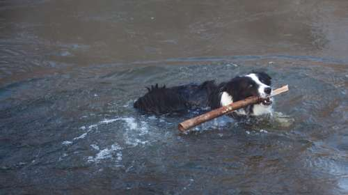 Dog Swimming Dog With Stick Border Collie Swimming