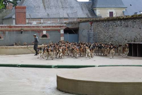 Dogs Anglo-French Hounds Hunting Dogs Mealtime
