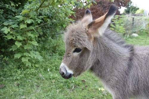 Donkey Donkey Miniature Small Animal Gray Donkey