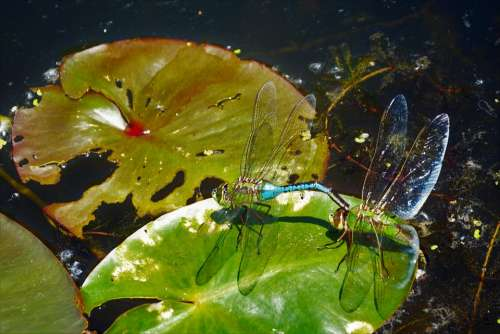 Dragonflies Mating Large Closeup Colorful Delicate
