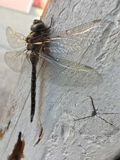 Dragonfly Black Wings Transparent Wood Animal