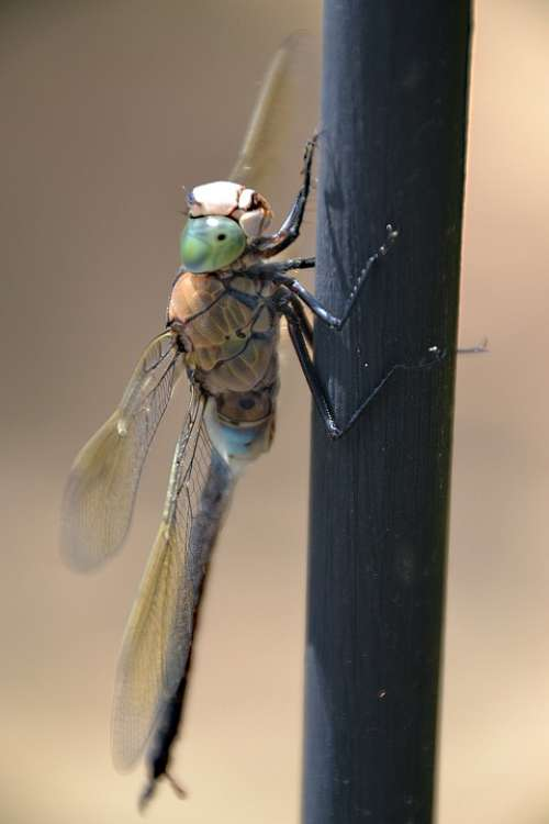 Dragonfly Nature Insect Wing Viscous