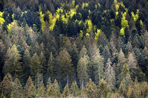 Drought Heat Climate Disease Forest Spruce