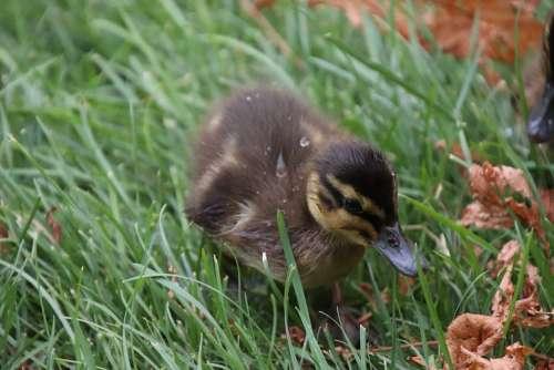 Duckling Ducks Birds Waterfowls Basin Pond Garden