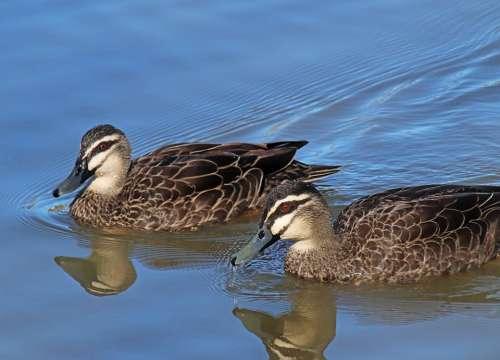 Ducks Birds Poultry Lake Wildlife Reflection
