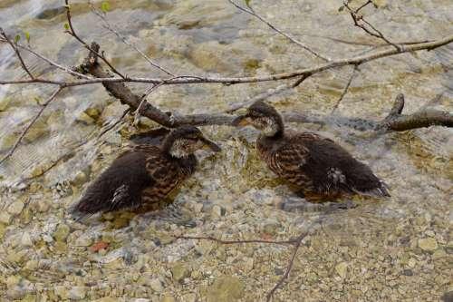 Ducks Ducklings Water Lake Duckling Cute Bird
